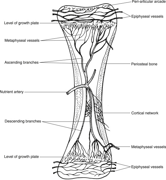 Nutrient Canal An Overview Sciencedirect Topics It is made up of 5 different bones, which vary in length and size depending on the species. nutrient canal an overview
