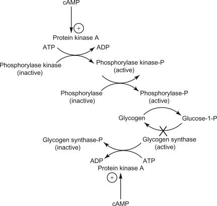 glycogenolysis - Madran kaptanband co