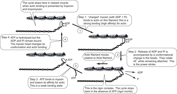 Papain - an overview | ScienceDirect Topics
