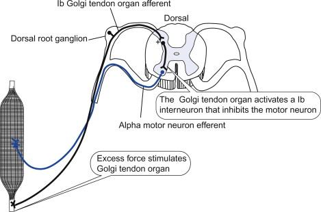 Golgi Tendon Organ - an overview   ScienceDirect Topics
