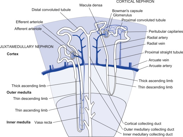 Nephrons - an overview | ScienceDirect Topics