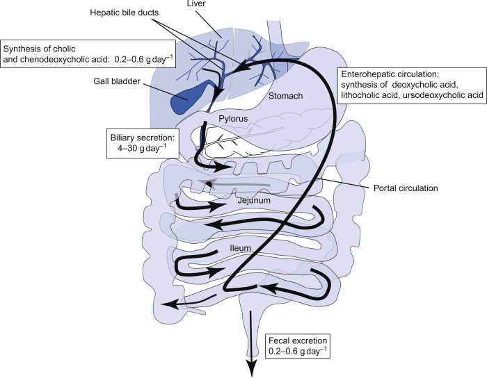 be3f6d8e45c6c3 Sign in to download full-size image. Figure 8.4.7. Enterohepatic circulation  of the bile acids.