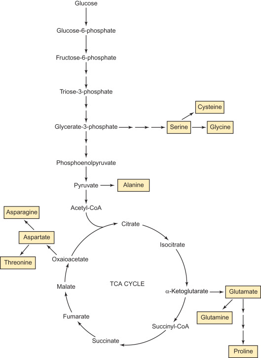 Nonessential Amino Acid - an overview | ScienceDirect Topics