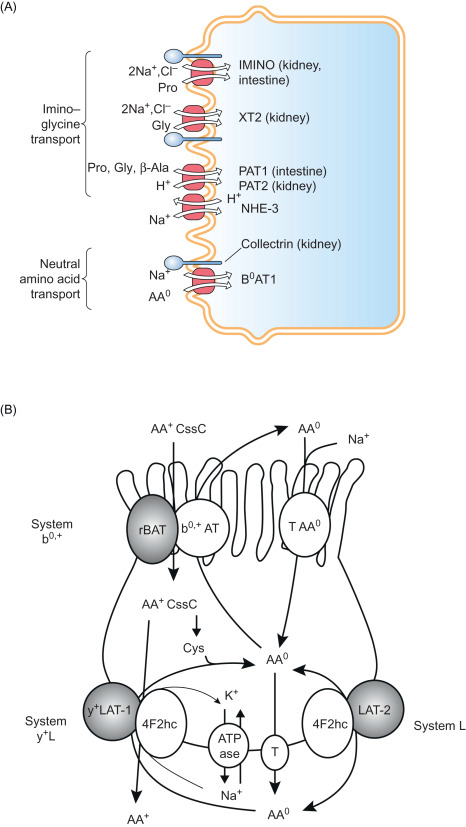 how are amino acids transported around the body