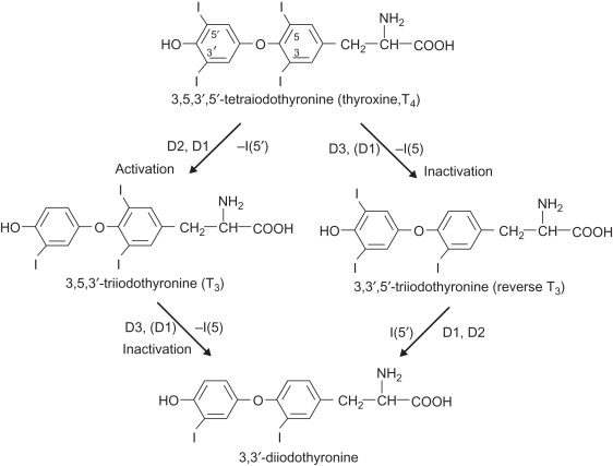 3 3 Diiodothyronine An Overview Sciencedirect Topics