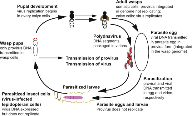 Double-Stranded DNA Virus - an overview | ScienceDirect Topics
