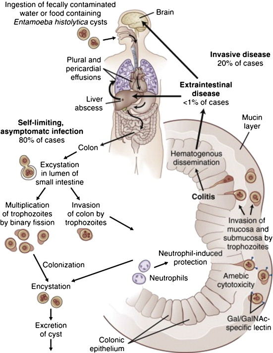 Entamoeba coli – Wikipédia