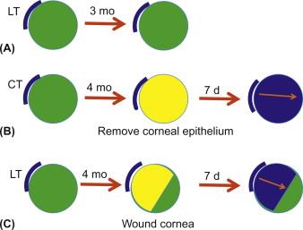 Corneal Epithelium - an overview   ScienceDirect Topics