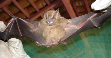 Velvety Free-Tailed Bat (Molossus molossus)