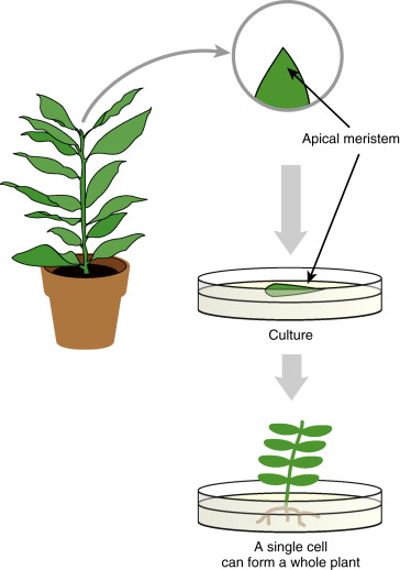 Callus Culture - an overview | ScienceDirect Topics