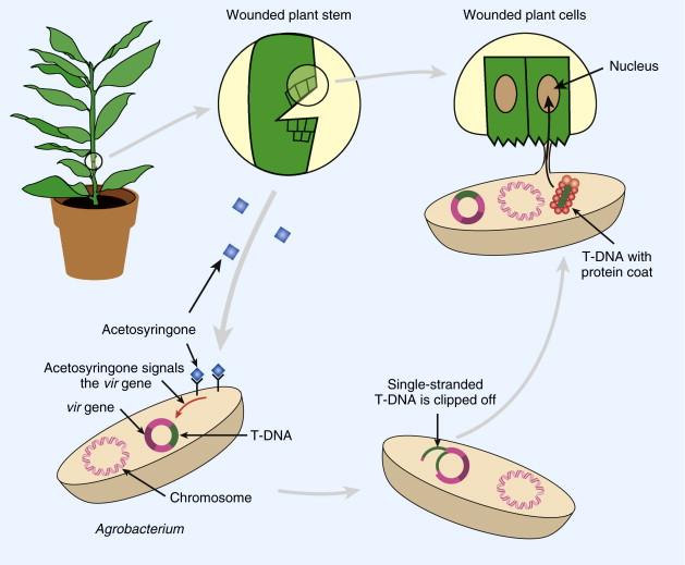 Ti Plasmid (Plant) - an overview | ScienceDirect Topics