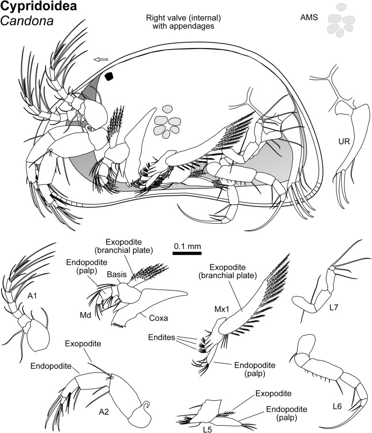 Arthropoda: Ostracoda - ScienceDirect