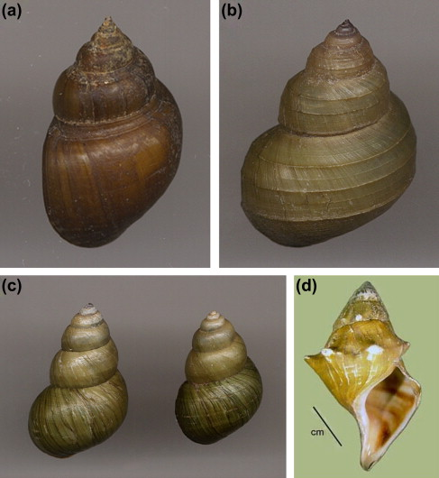 The Importance Of Identified Neurons In Gastropod Molluscs To >> Introduction To Mollusca And The Class Gastropoda Sciencedirect