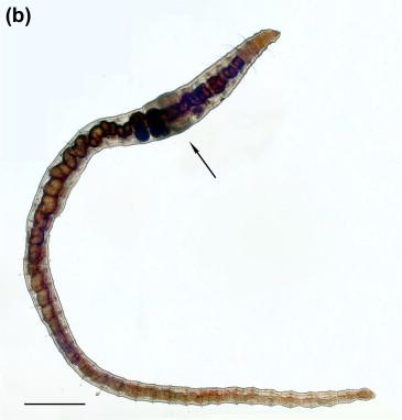 Oligochaeta asexual reproduction in fungi