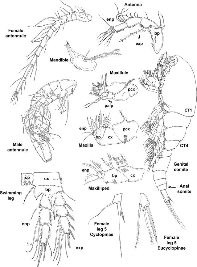 Class Maxillopoda
