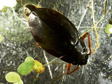 Whirligig Beetle - an overview | ScienceDirect Topics