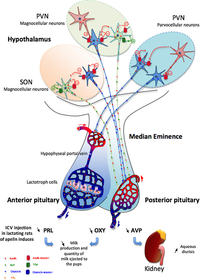 Antidiuretic - an overview | ScienceDirect Topics