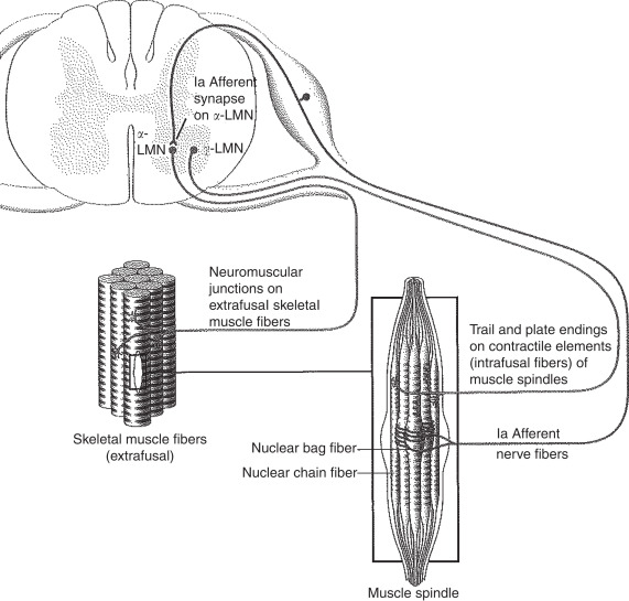 Muscle Tone An Overview Sciencedirect Topics Meaning of cogwheel rigidity medical term. muscle tone an overview
