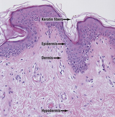 which lymphoid tissues trap and remove bacteria entering the throat