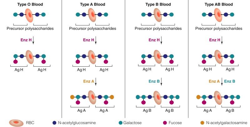 Transplantation - ScienceDirect