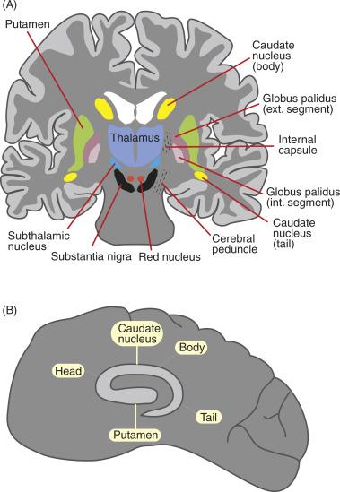 Anatomy Of Nucleus