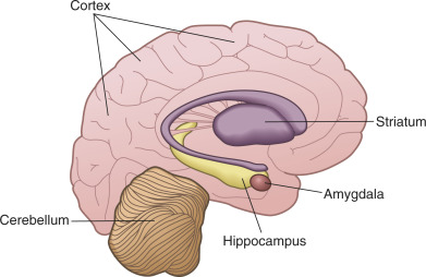 Learning and memory brain systems fundamental neuroscience drawing of the human brain showing components of the major memory systems ccuart Images