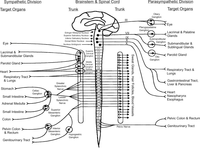 Peripheral Autonomic Nervous System - ScienceDirect on nervous system test, nervous system diagram labeled, nervous system system, nervous system layout, nervous system drawing, nervous system model, nervous system working, nervous system component, nervous system spinal cord, nervous system control, nervous system breakdown, nervous system illustration, nervous system project, nervous system brochure, nervous system brain diagram, nervous system information, nervous system parts, nervous system cell, nervous system design, nervous system box,