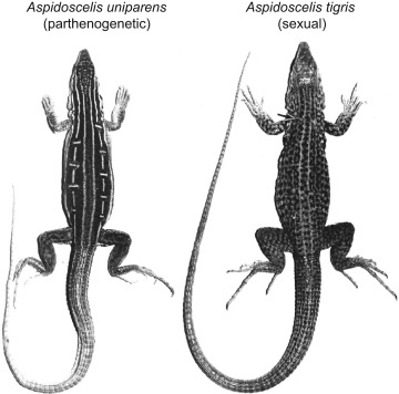 Evidence that parthenogenetic whiptail lizards are derived from sexually