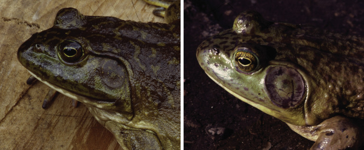 dimorphism-fish-freshwater-sexual