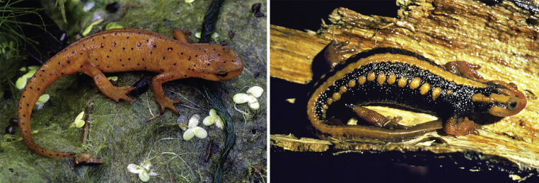 Fire Salamander - an overview | ScienceDirect Topics