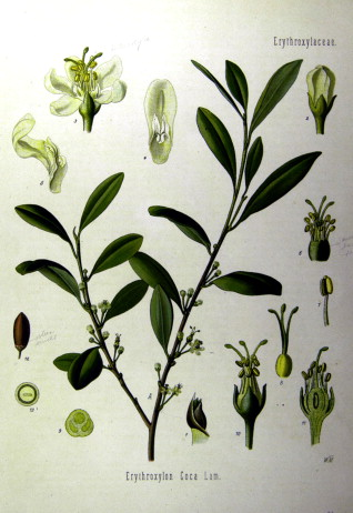 Coca - an overview | ScienceDirect Topics