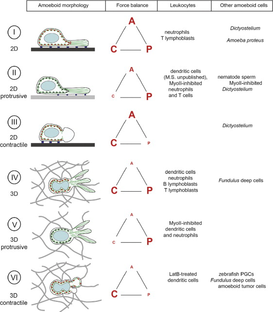 Amoeboid Movement - an overview | ScienceDirect Topics