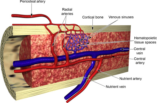 Image result for nutrient artery