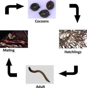 Bedding Culture /& 300g Food 200g Of Composting dendrobaena Worms WORM BIN
