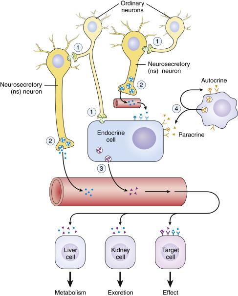 Endocrine Regulation - an overview | ScienceDirect Topics
