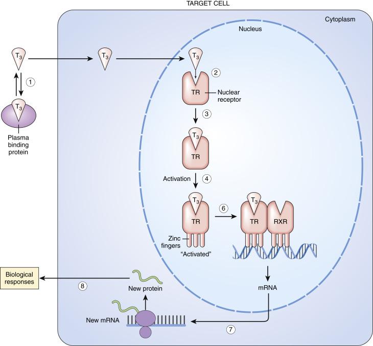 iodine containing hormones that regulate bmr