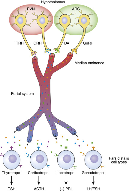 Tropic Hormone An Overview Sciencedirect Topics A tropic hormone is a hormone that stimulates an endocrine gland to grow and secrete it's hormones.(one hormone causes another hormone to do something) in humans, tropic hormones. tropic hormone an overview