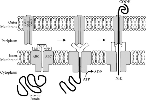 type 1 and 5 secretion systems and associated toxins sciencedirect