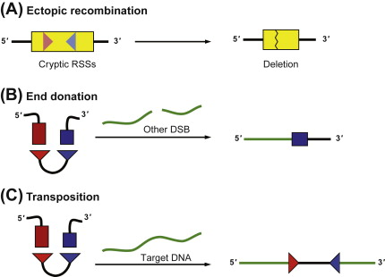 The Mechanism of V(D)J Recombination - ScienceDirect