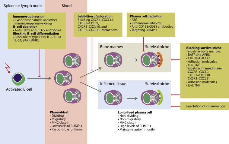 B cell memory and plasma cell development sciencedirect publicscrutiny Gallery