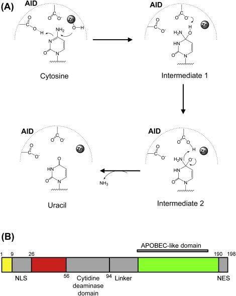 Somatic Hypermutation: The Molecular Mechanisms Underlying the