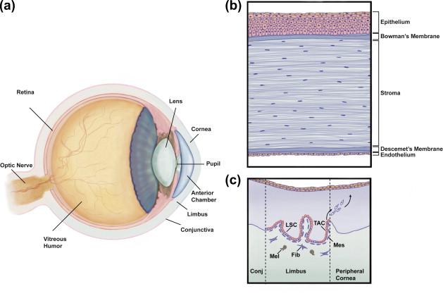 Corneal Replacement Tissue Sciencedirect