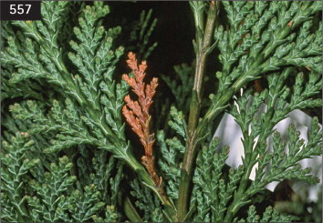 Thuja occidentalis - an overview   ScienceDirect Topics