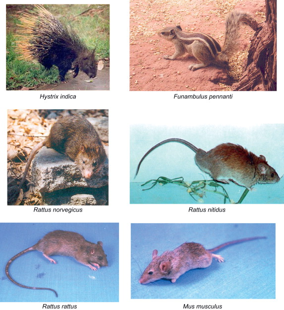 Integrated Management of Rodent Pests - ScienceDirect