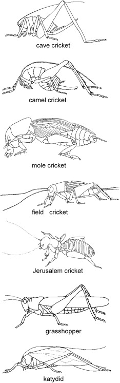 Orthoptera - an overview | ScienceDirect Topics