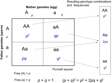 Punnett Square - an overview | ScienceDirect Topics