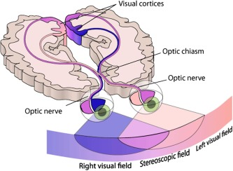 Primary Visual Cortex - an overview | ScienceDirect Topics