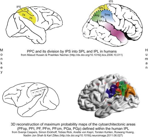 Inferior Parietal Lobule An Overview Sciencedirect Topics