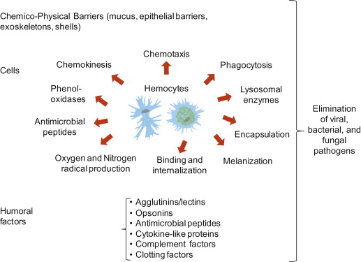 The Invertebrate Immune System As A Model For Investigating The