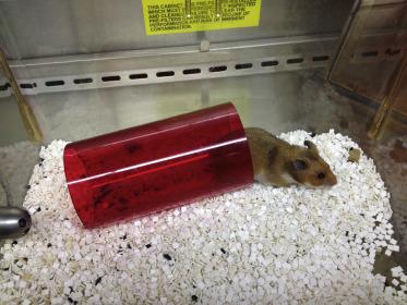 Biology and Diseases of Hamsters - ScienceDirect